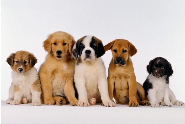 480960 As doen%C3%A7as mais comuns em cachorros As doenças mais comuns em cachorros