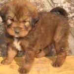 487908 Raça mastiff tibetano preço fotos 1 150x150 Raça Mastiff Tibetano: preço, fotos
