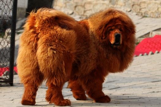 487908 Raça mastiff tibetano preço fotos 2 Raça Mastiff Tibetano: preço, fotos