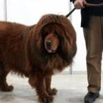 487908 Raça mastiff tibetano preço fotos 3 150x150 Raça Mastiff Tibetano: preço, fotos