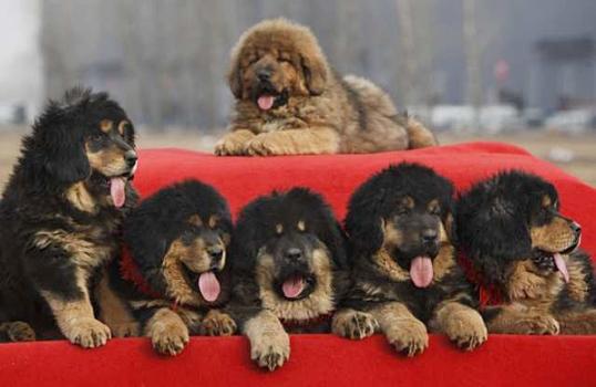 487908 Raça mastiff tibetano preço fotos 5 Raça Mastiff Tibetano: preço, fotos