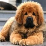 487908 Raça mastiff tibetano preço fotos 6 150x150 Raça Mastiff Tibetano: preço, fotos