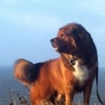 487908 Raça mastiff tibetano preço fotos 7 150x150 Raça Mastiff Tibetano: preço, fotos
