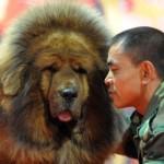 487908 Raça mastiff tibetano preço fotos 8 150x150 Raça Mastiff Tibetano: preço, fotos