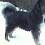 487908 Raça mastiff tibetano preço fotos 9 150x150 Raça Mastiff Tibetano: preço, fotos