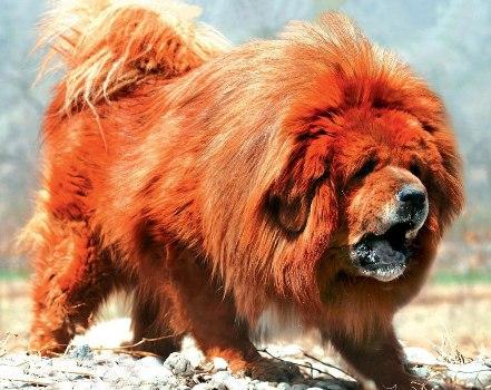 487908 Raça mastiff tibetano preço fotos Raça Mastiff Tibetano: preço, fotos
