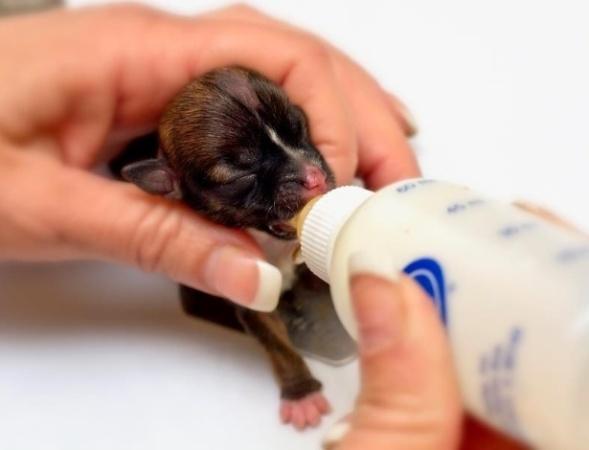 488035 beagle puppy 496x372 Filhote de cachorro: como amamentar