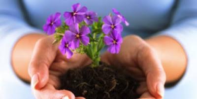 490511 Violetas como cuidar dicas Violetas: como cuidar, dicas