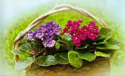 490511 Violetas como cuidar dicas2 Violetas: como cuidar, dicas