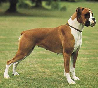 490852 boxer Melhores raças de cão de guarda