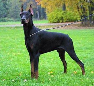 490852 dobermann Melhores raças de cão de guarda