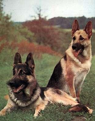 490852 pastor alemao Melhores raças de cão de guarda