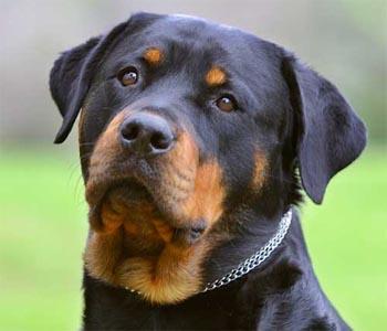 490852 rottweiler Melhores raças de cão de guarda