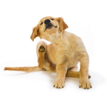 492187 cachorro coçando muito Alergias em cães: sintomas, tratamento