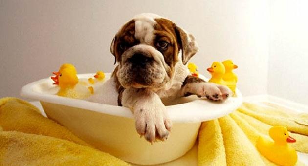 492313 Cozinho no Banho Dermatite em cães: sintomas, como tratar