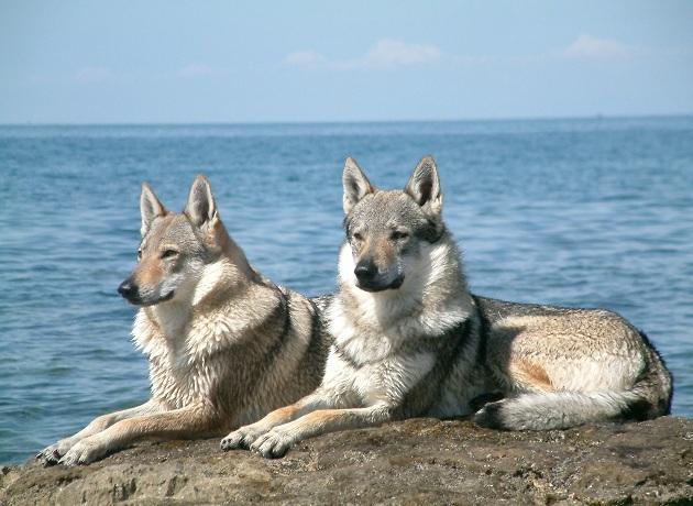 492319 Czechoslovakian Wolfdog pair 1 Raças de cães mais perigosas do mundo