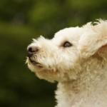 496556 Fotos de cães da raça poodle 14 150x150 Fotos de cães da raça poodle