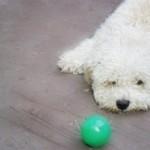 496556 Fotos de cães da raça poodle 15 150x150 Fotos de cães da raça poodle