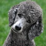 496556 Fotos de cães da raça poodle 17 150x150 Fotos de cães da raça poodle