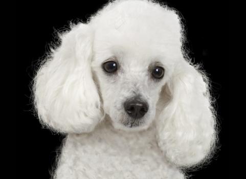 496556 Fotos de cães da raça poodle 18 Fotos de cães da raça poodle