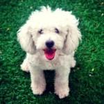 496556 Fotos de cães da raça poodle 19 150x150 Fotos de cães da raça poodle