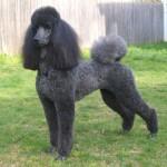 496556 Fotos de cães da raça poodle 2 150x150 Fotos de cães da raça poodle
