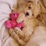 496556 Fotos de cães da raça poodle 21 150x150 Fotos de cães da raça poodle