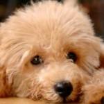 496556 Fotos de cães da raça poodle 3 150x150 Fotos de cães da raça poodle