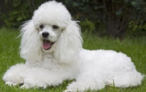 Fotos de cães da raça poodle 1
