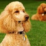 496556 Fotos de cães da raça poodle 7 150x150 Fotos de cães da raça poodle
