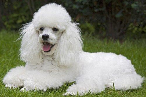 Fotos de cães da raça poodle