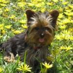496636 fotos de caes da raça yorkshire 1 150x150 Fotos de cães da raça Yorkshire