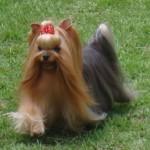 496636 fotos de caes da raça yorkshire 13 150x150 Fotos de cães da raça Yorkshire