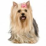 496636 fotos de caes da raça yorkshire 4 150x150 Fotos de cães da raça Yorkshire