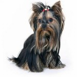 496636 fotos de caes da raça yorkshire 5 150x150 Fotos de cães da raça Yorkshire