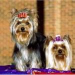 496636 fotos de caes da raça yorkshire 6 150x150 Fotos de cães da raça Yorkshire