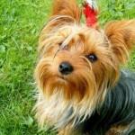 496636 fotos de caes da raça yorkshire 9 150x150 Fotos de cães da raça Yorkshire