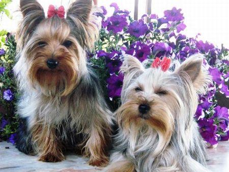 496636 fotos de caes da raça yorkshire Fotos de cães da raça Yorkshire