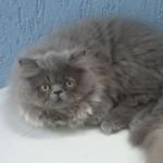 497735 fotos de gatos da raça persa 10 150x150 Fotos de gatos da raça persa