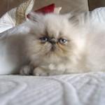 497735 fotos de gatos da raça persa 13 150x150 Fotos de gatos da raça persa