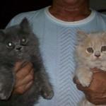 497735 fotos de gatos da raça persa 14 150x150 Fotos de gatos da raça persa