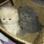 497735 fotos de gatos da raça persa 17 150x150 Fotos de gatos da raça persa