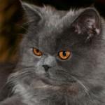 497735 fotos de gatos da raça persa 20 150x150 Fotos de gatos da raça persa