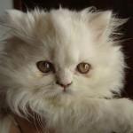 497735 fotos de gatos da raça persa 4 150x150 Fotos de gatos da raça persa