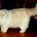 497735 fotos de gatos da raça persa 5 150x150 Fotos de gatos da raça persa