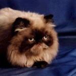 497735 fotos de gatos da raça persa 6 150x150 Fotos de gatos da raça persa