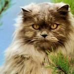 497735 fotos de gatos da raça persa 7 150x150 Fotos de gatos da raça persa