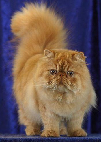 497735 fotos de gatos da raça persa Fotos de gatos da raça persa