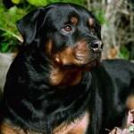 498367 caes da raça rottweiler fotos 150x150  Cães da raça rottweiler: fotos