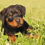 498367 caes da raça rottweiler fotos 18 150x150  Cães da raça rottweiler: fotos